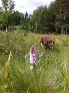 Labrador med lupin