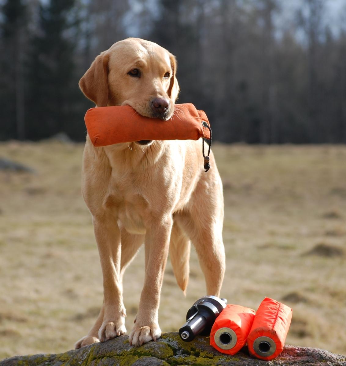 Gul labrador med dummie