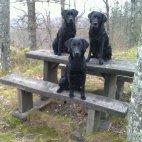Tre svarta hundar